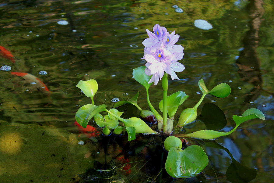water-hyacinth-pond-plant