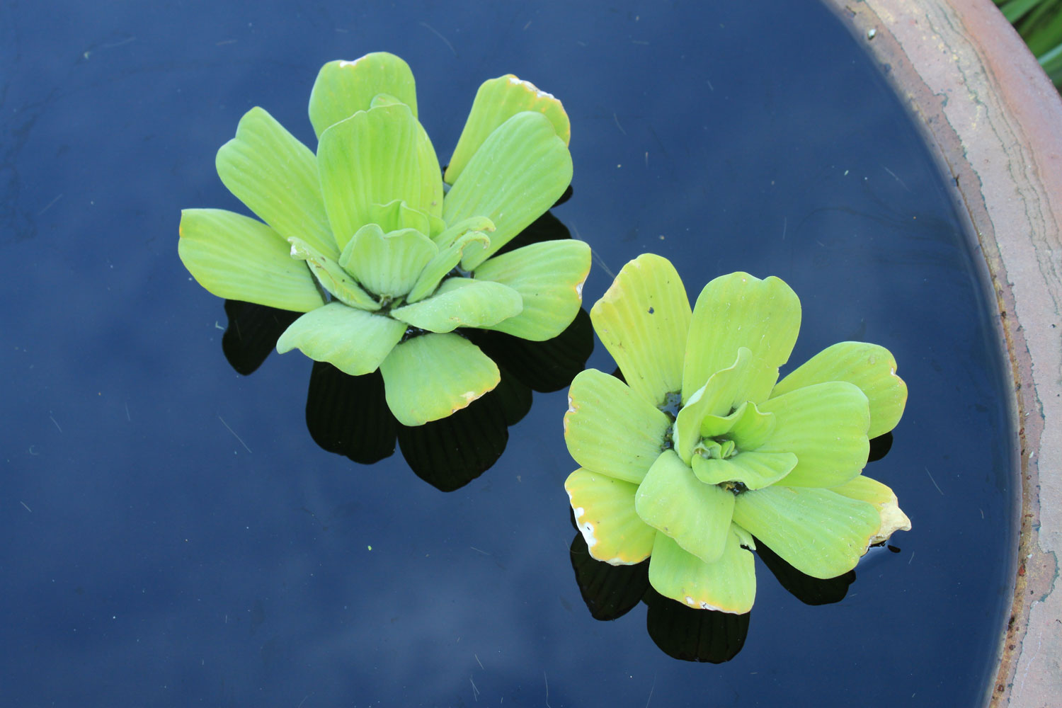 Water lettuce live pond plants for Floating flowers in water