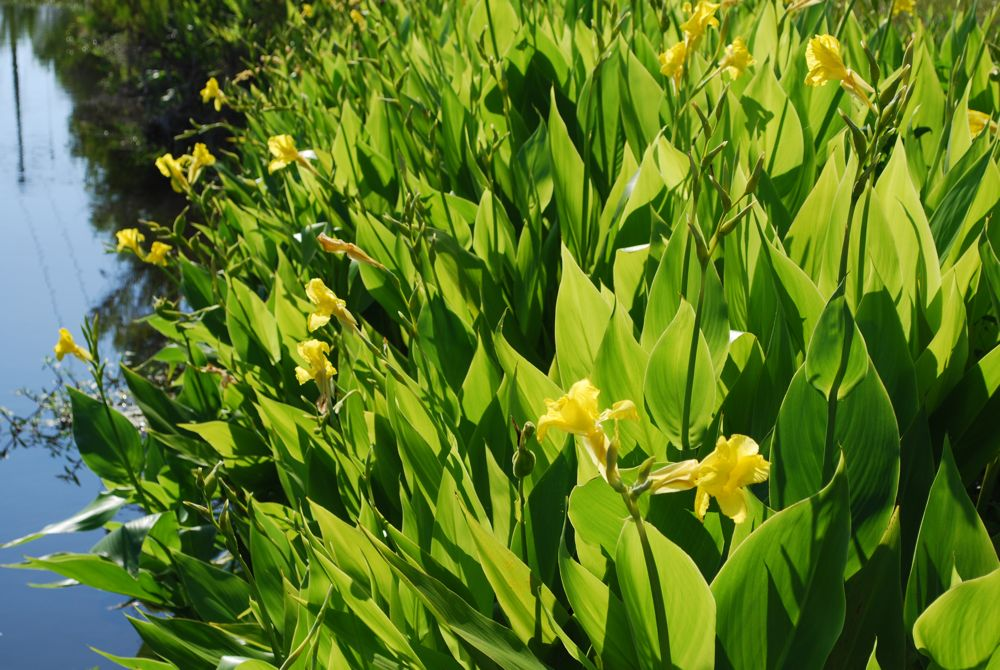Aquatic canna live pond plants for Plants that live in a pond