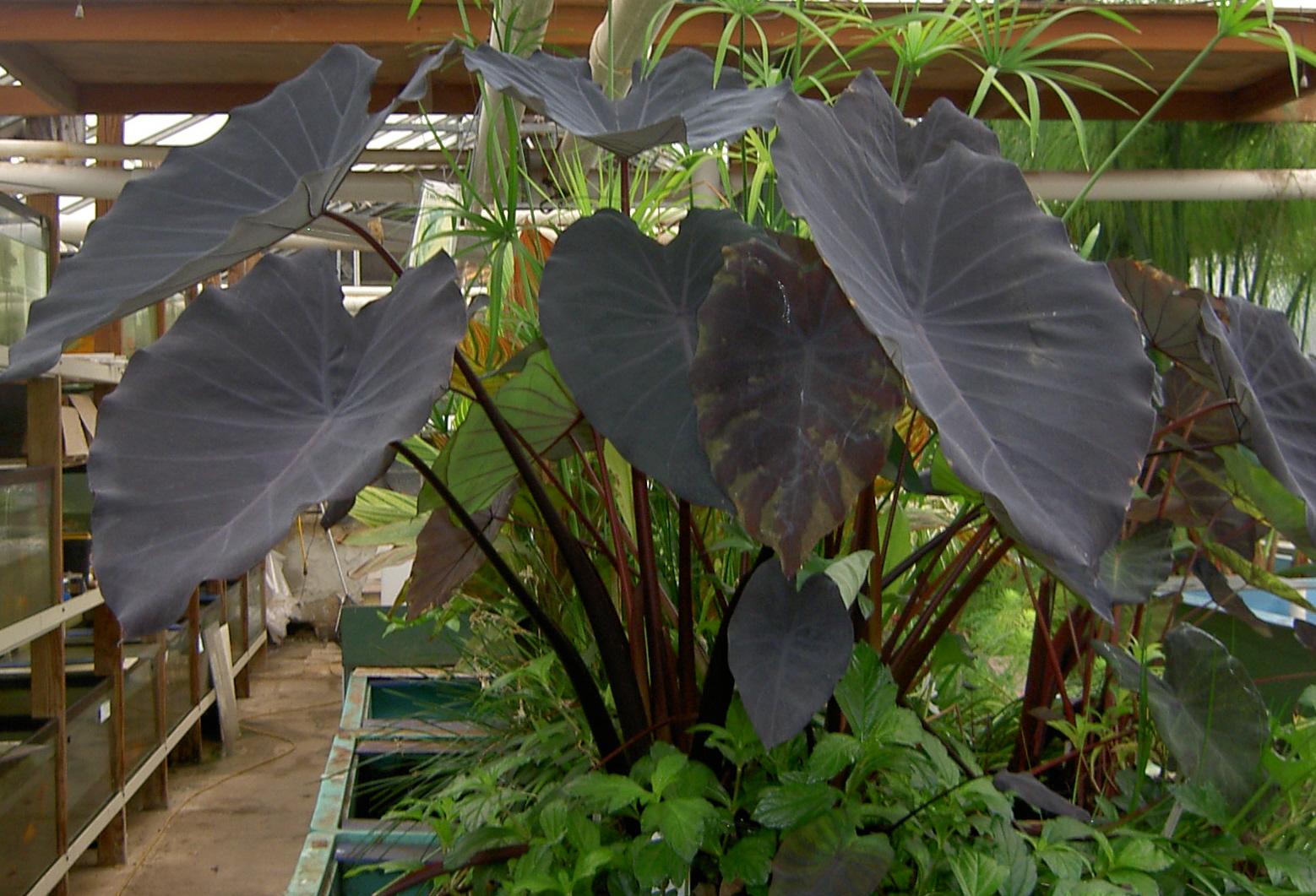 Taro Or Elephant Ear Live Pond Plants