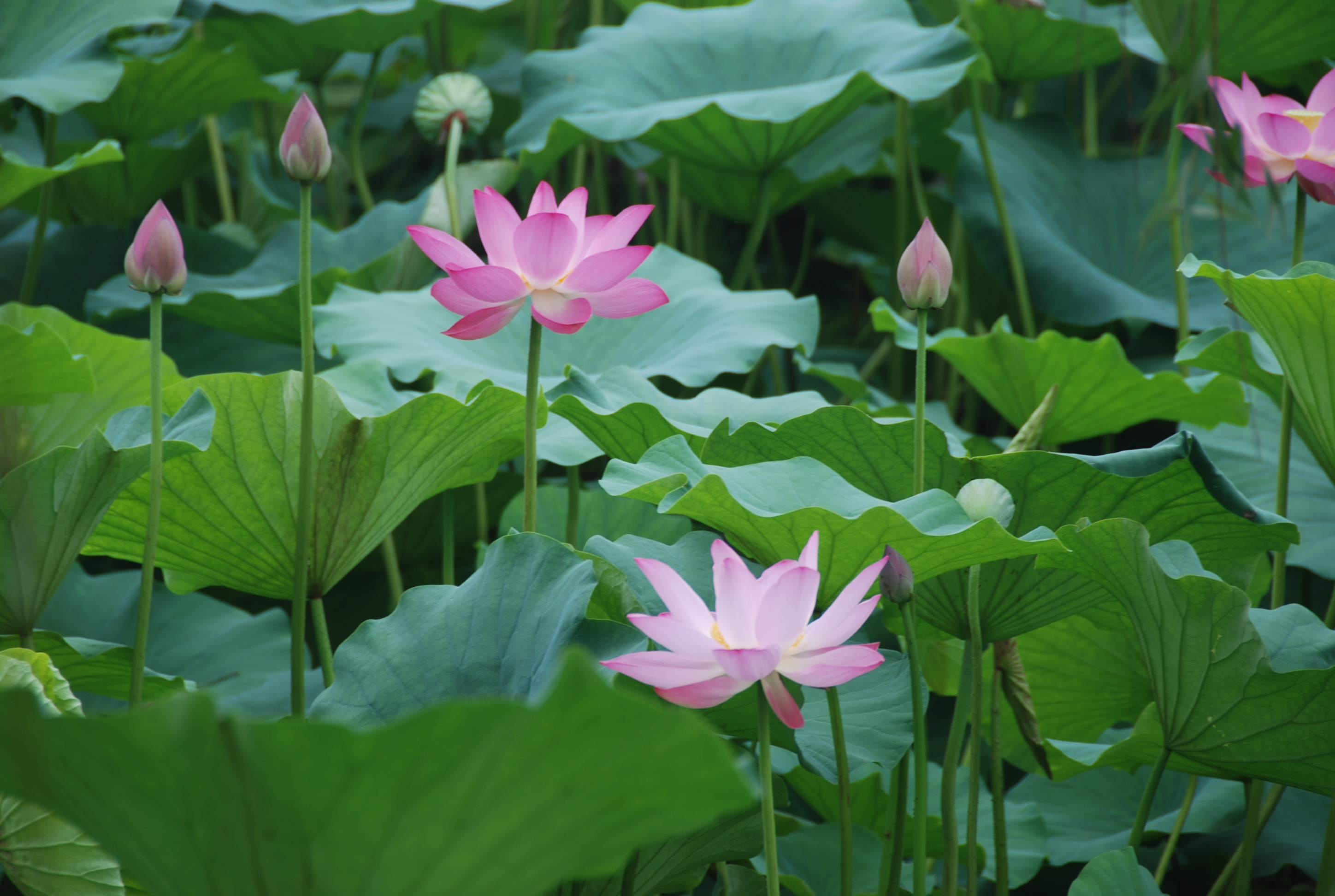 Water lotus live pond plants water lotus mightylinksfo